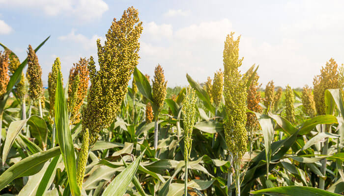 Millets are healthy or not